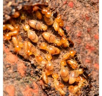 Anti-Termite White Ant Killer Serbuk Racun Anai-Anai / Termite Potion / Racun Serangga Termite Killer Ant Bait 30 Gram